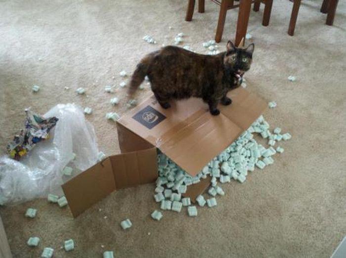 cat opens box