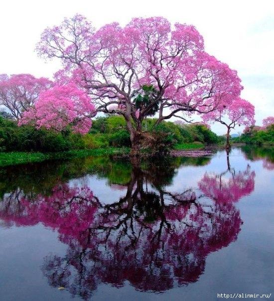 Муравьиное дерево (550x604, 204Kb)
