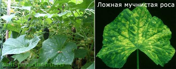 bolesni-ogurcov2-2 (560x220, 46Kb)