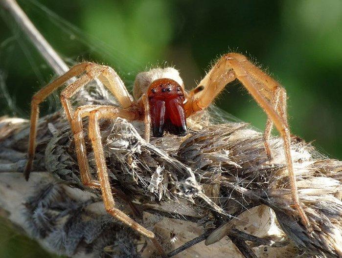 Черная вдова -самые опасные в мире пауки/3241858_yellow_sac1 (700x529, 95Kb)