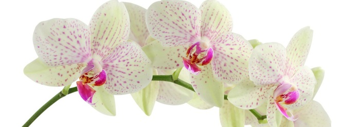 White-Orchid-Flower (700x248, 43Kb)