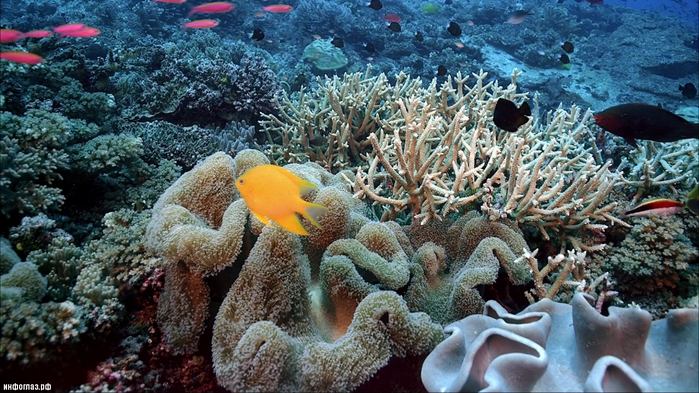 imax_-_coral_reef_adventure_1080p_bluray_dts_x26400306805-13-07 (700x393, 620Kb)