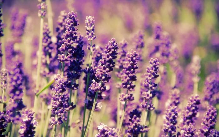 Картинки цветы лаванды 5