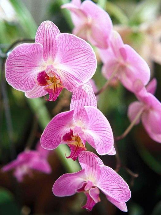 орхидея (525x700, 72Kb)