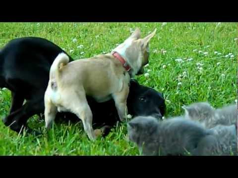 Храбрая Чихуахуа защищает котят!/3518263_chi (480x360, 25Kb)