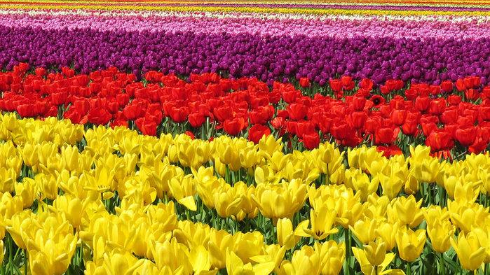 цветущие цветы 23 (700x393, 144Kb)