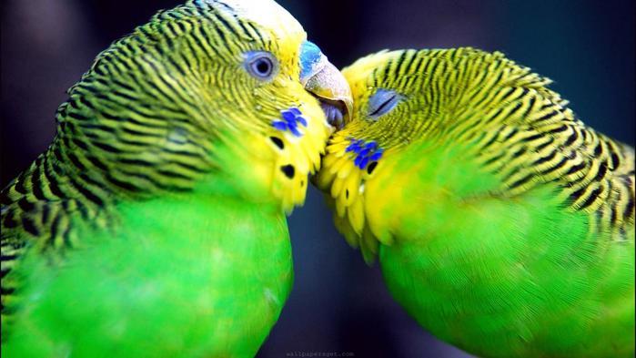 animal-parrots-february-768x1366 (700x393, 44Kb)