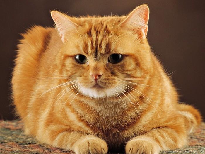 cute-red-cat (700x525, 104Kb)