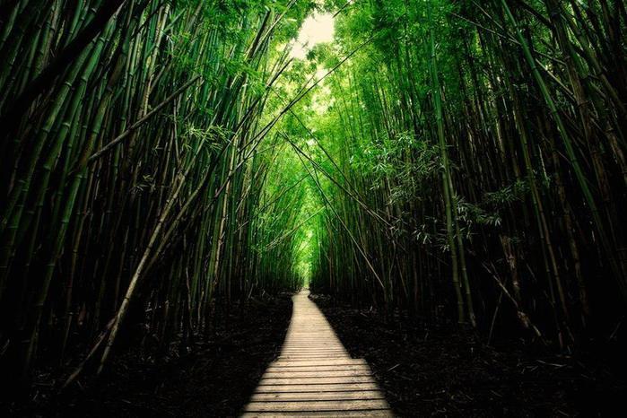 Бамбуковый лес на острове Мауи, Гавайи, США (700x466, 69Kb)