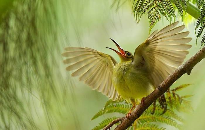 Большая желтощекая нектарница-пауколовка встречает утро в лесу на острове Борнео, Малайзия (700x447, 40Kb)