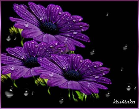 Фиолетовые-хризантемы-в-рос (450x352, 214Kb)