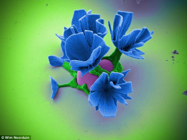 цветы под микроскопом Вим Л. Нурдуин 6 (634x475, 36Kb)