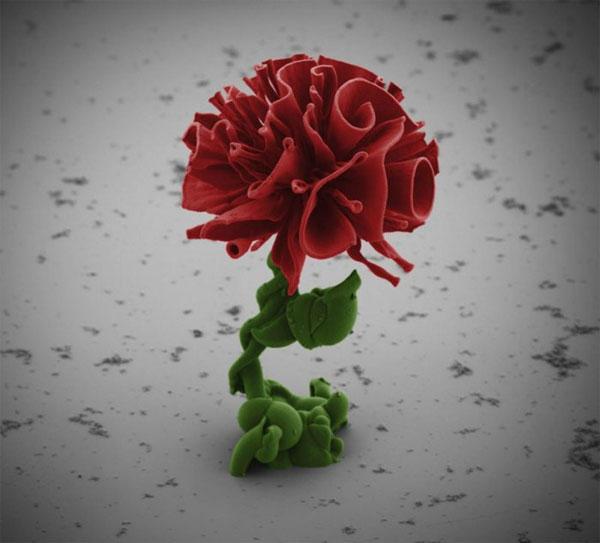 цветы под микроскопом Вим Л. Нурдуин 9 (600x543, 39Kb)