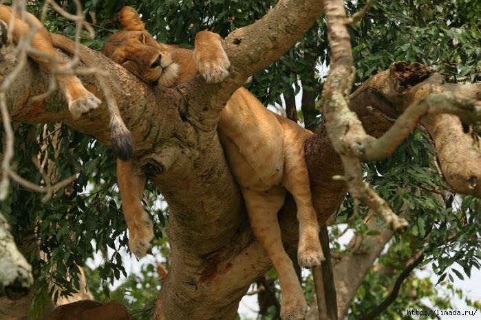 lion-in-tree-4-ishasha-qe-np-mm_0 (699x466, 227Kb)