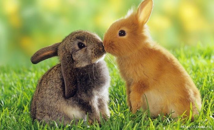 Rabbits-34518 (700x424, 190Kb)