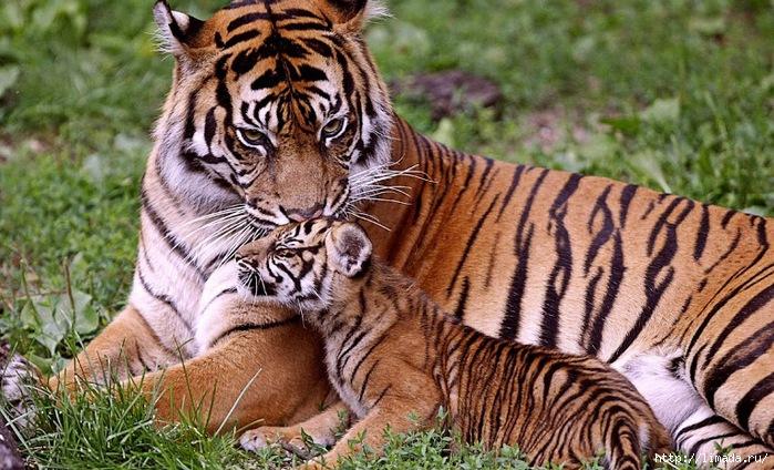 Tiger-With-Cub-55562 (700x424, 276Kb)