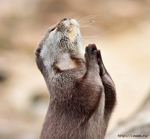 Waiting for the answer (praying otter) - By Marac @ DP (503x466, 123Kb)