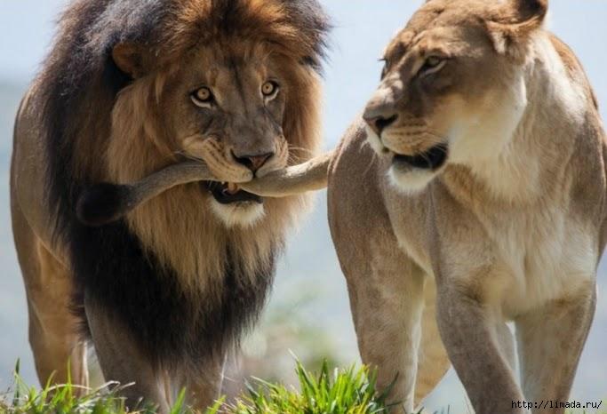 Лев и львица (683x466, 149Kb)