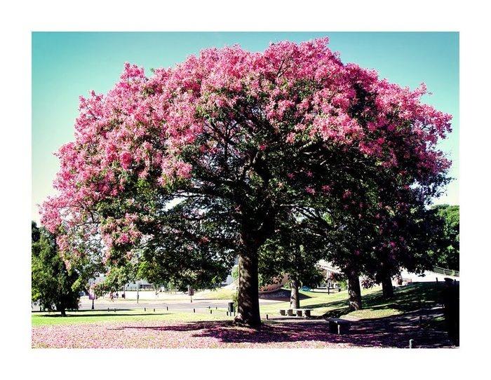 Эфирное масло розового дерева ( Aniba rosaeodora). INCI Aniba