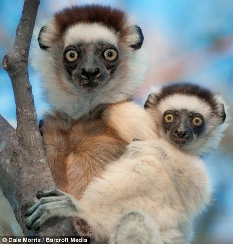 Прыгающие лемуры на острове Мадагаскар от Дэйла Морриса (Leaping lemurs photographed on the island of Madagascar by Dale Morris)