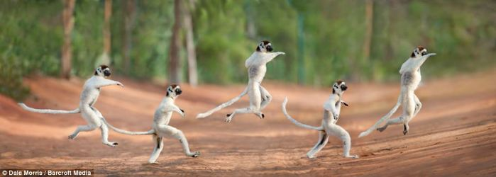 ��������� ������ �� ������� ���������� �� ����� ������� (Leaping lemurs photographed on the island of Madagascar by Dale Morris)