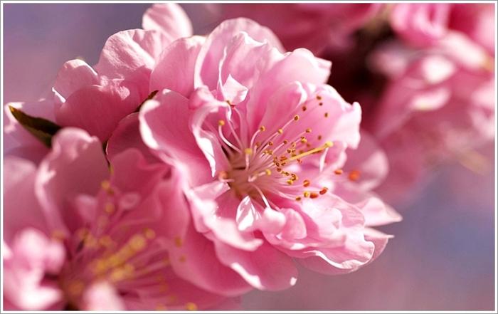 """Предпросмотр схемы вышивки  """"сакура """". сакура, сакура,цветы,ветка,дерево, предпросмотр."""