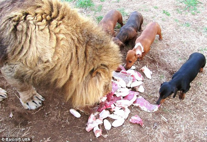 Собака лев