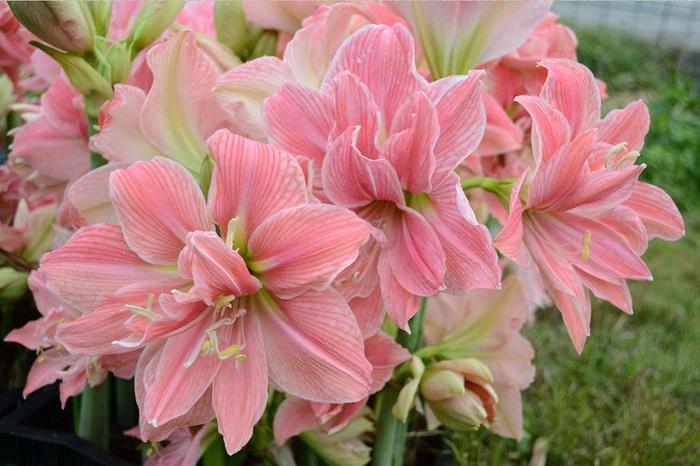 Çiçeklerden demetler zambak çiçeği zambaklar beyaz zambaklar