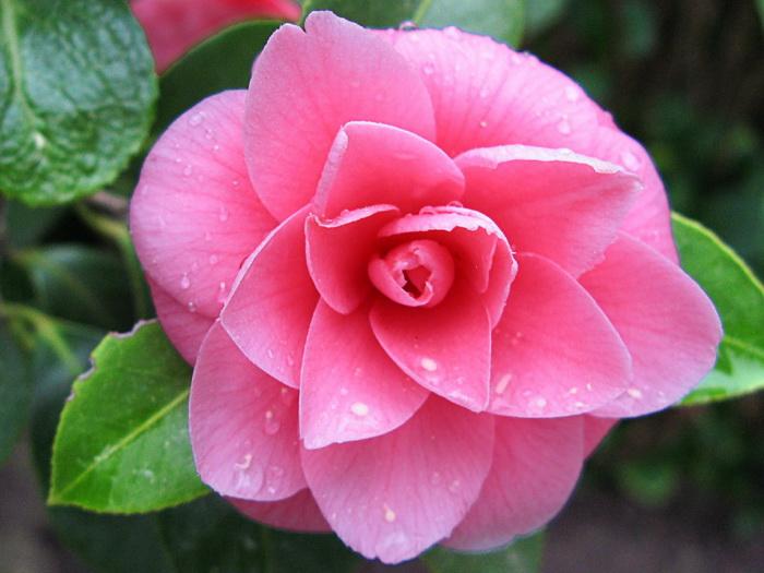 Картинки цветка камелия 5