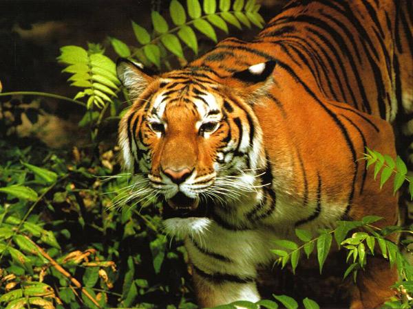 тигр (600x450, 126Kb)