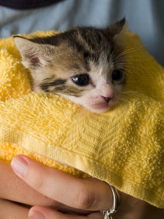 Stock Photo of a Manx Kitten