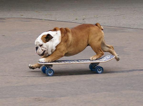 тиллман собака на скейте фото (600x447, 35Kb)