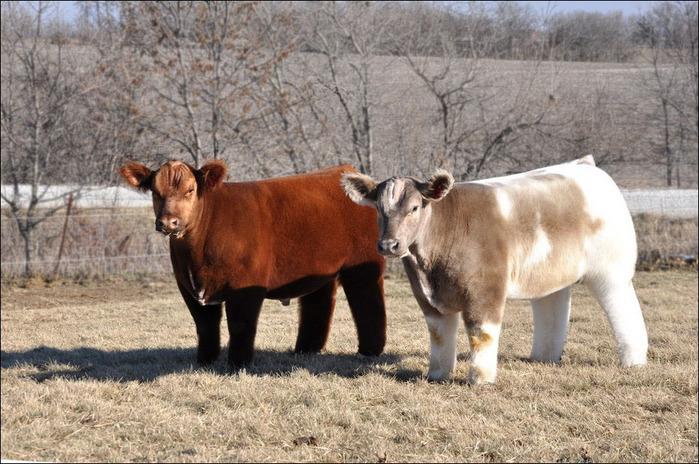 шерстяная порода коров фото (700x464, 150Kb)