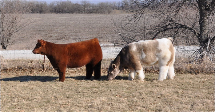 шерстяная порода коров фото 8 (700x366, 139Kb)
