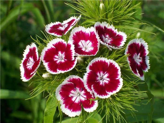 """Dianthus barbatus L.) - садовое...  Название  """"бородатая """" получила за наличие у каждого цветка прицветных листочков..."""
