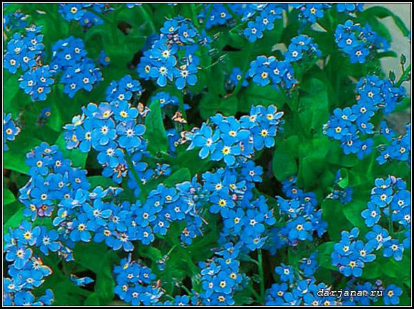 незабудка цветок картинка:
