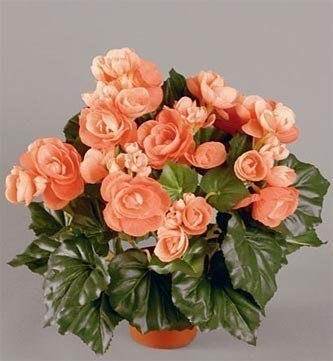 Бегония цветущая - Фото цветов