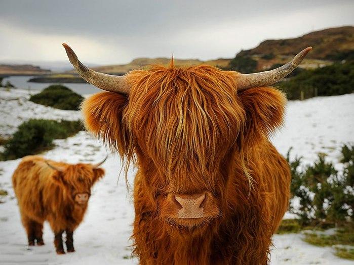 шотландские высокогорные коровы/4552399_ (700x525, 86Kb)