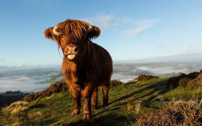шотландские высокогорные коровы/4552399_shotlandskie_korovi_foto_3 (700x437, 57Kb)