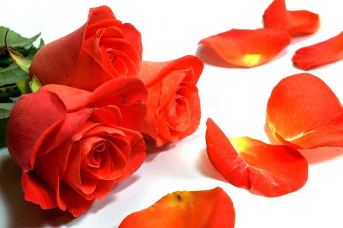 Розы-и-лепестки-роз-1296205813_96 (700x466, 94Kb)