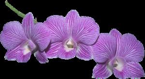 Картинки по запросу орхидея png