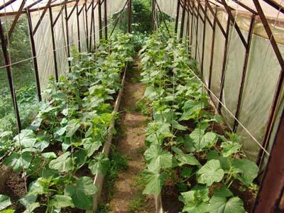 cucumber_growing(1) (400x300, 68Kb)