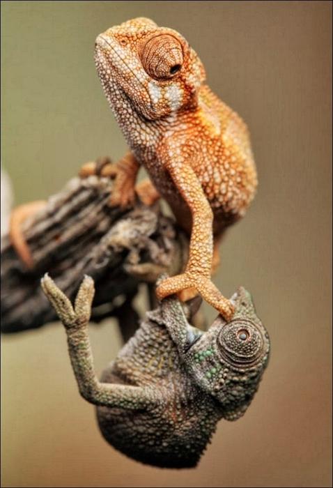 Chameleon01 (478x700, 197Kb)
