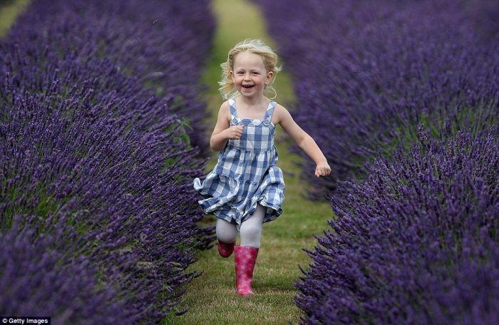 lavender_02 (700x456, 199Kb)