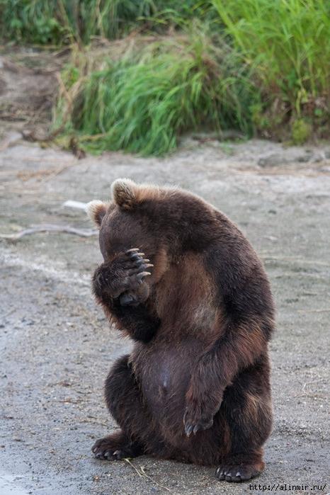 животные медведь- (466x699, 222Kb)