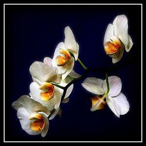 орхидеинасинем (300x300, 14Kb)
