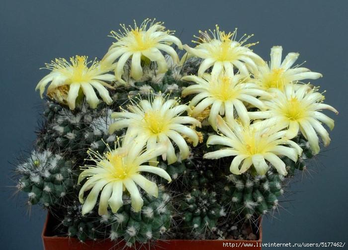 Цветущие кактусы. ФЛОРИСТИКА.FLORISTICS. תמונות.