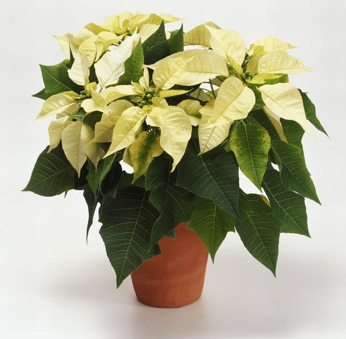 İç mekan bitkileri atatürk çiçeği2 (700x686, 112Kb)