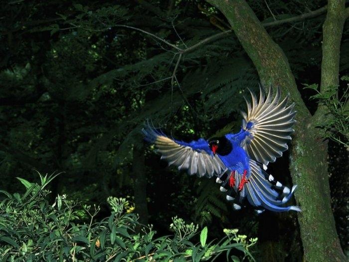 Лазоревая птица