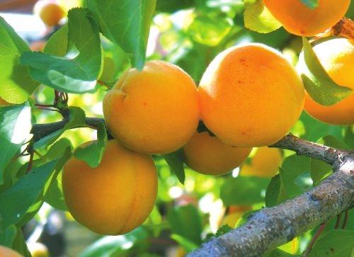 абрикосы (500x363, 100Kb)